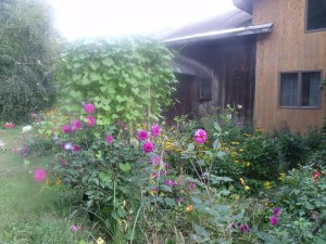 Dahlias and morning glory trellis