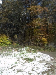 beeches and snow