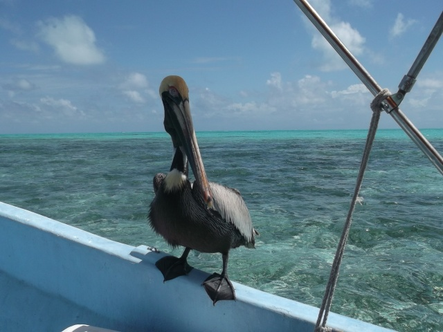 Pelican and the jade sea